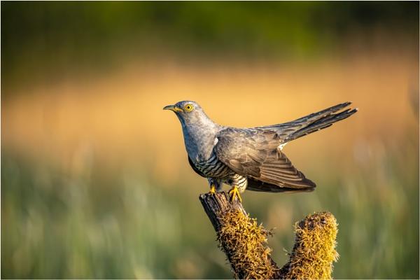 Cuckoo Cuckoo by craggwildlifephotography