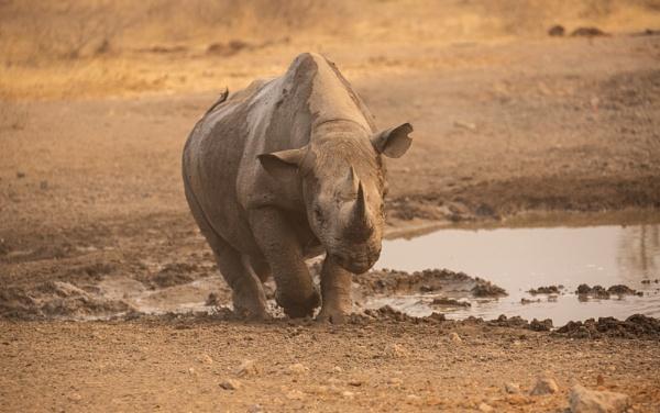 Black Rhino by rontear