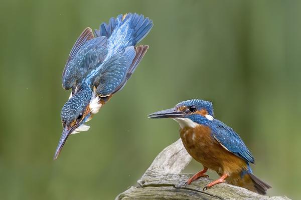 Kingfishers by targetman