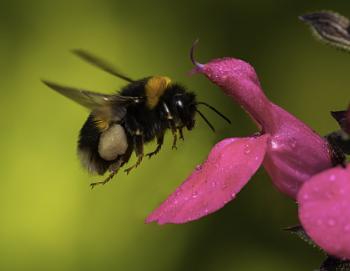 Pollen laden Bee landing