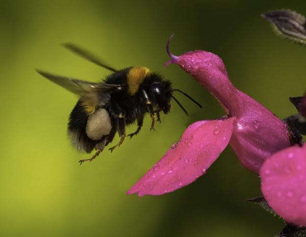 Pollen laden Bee landing by esoxlucius