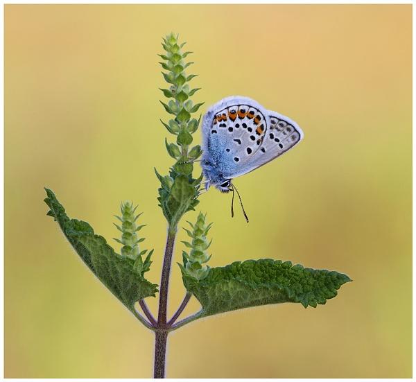 Silver Studded Blue - Plebejus argus. by NigelKiteley