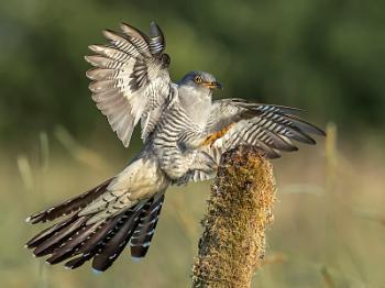 Common Cuckoo male