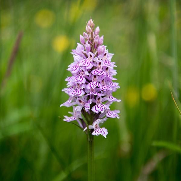 Common Orchid by Gavin_Duxbury