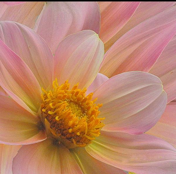 petals by iscaphotos21