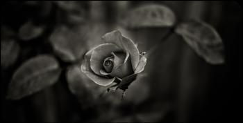 Garden Rose - Toned