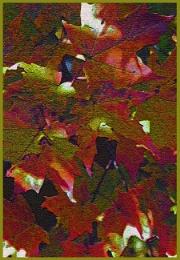 Maple Leaves  (best viewed large)
