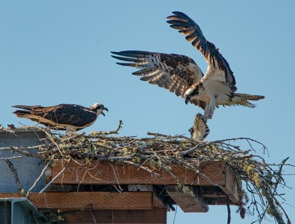 Osprey feeding young by StuartDavie