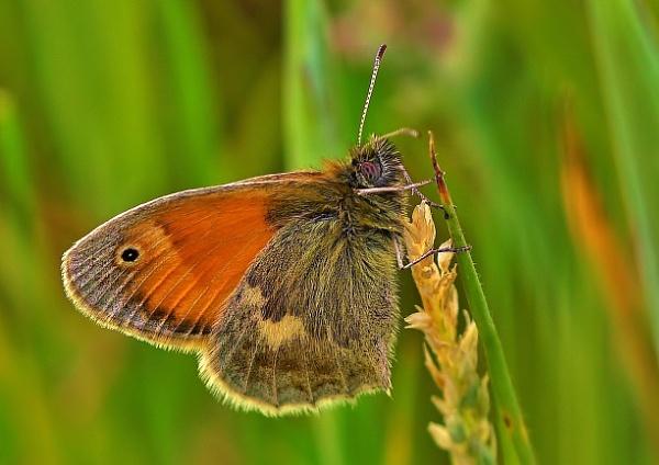 Small Heath Butterfly. by georgiepoolie