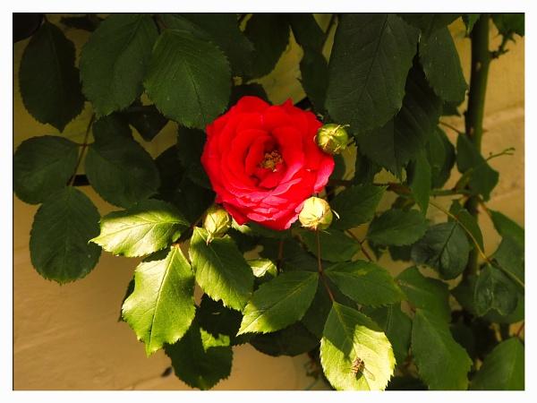 RED ROSE. by kojack
