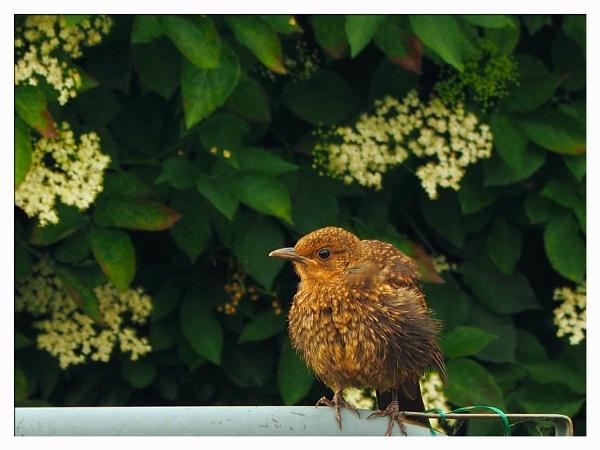 YOUNG BLACKBIRD. by kojack