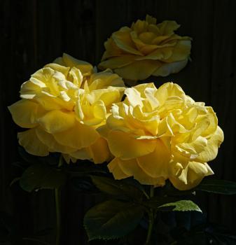 A beautiful yellow rose