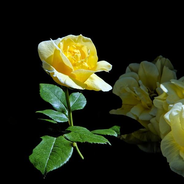 Yellow Rose by pdunstan_Greymoon