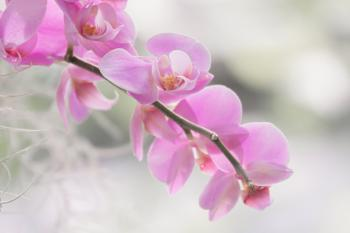 Softly Orchid