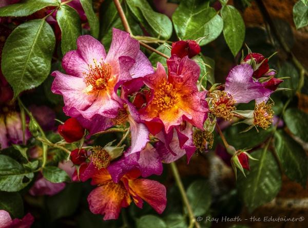 Liz\'s garden - vibrant walled garden roses detail C3 by RayHeath