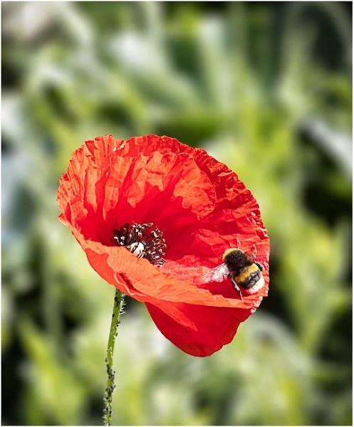 Unexpected Poppy by capto