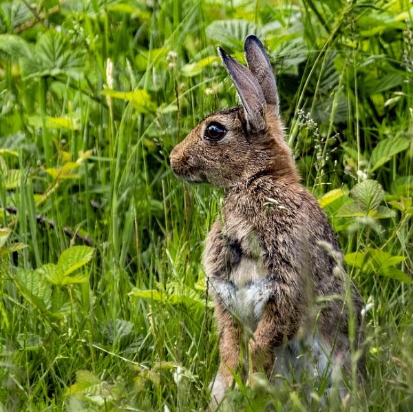 Wild Rabbit by doverpic