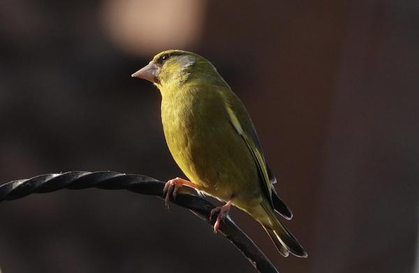 Greenfinch in morning light by deavilin
