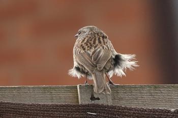 Dunnock catching the breeze