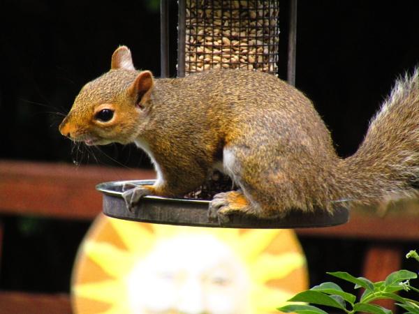 squirrel by eagle1955