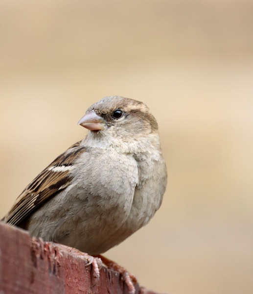 Female Sparrow by redcall35