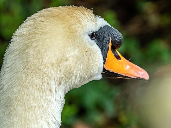 Portrait of Mute Swan by jimobee