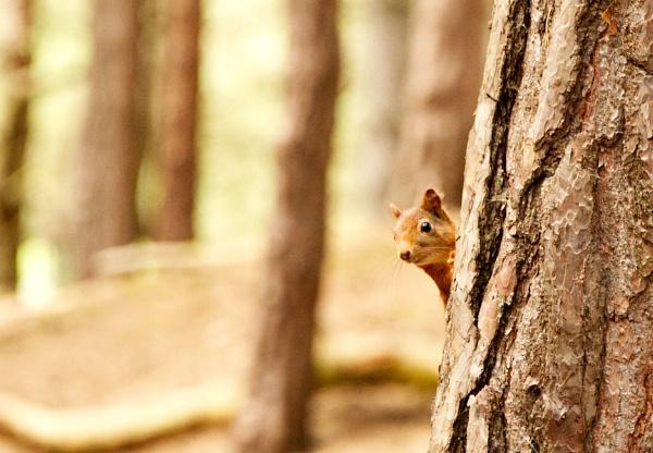 Peeping Red Squirrel by Fogey