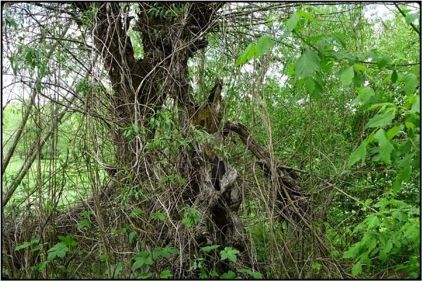 old willow-trunk by FabioKeiner