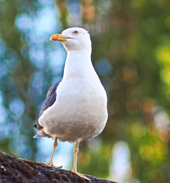 Gull by photowanderer