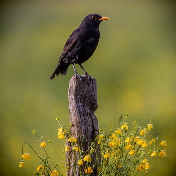 Blackbird by Stevetheroofer