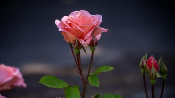 Rose by victorburnside