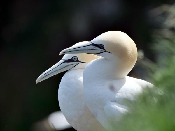 Gannets by DerekHollis