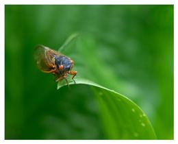 Cicada on Hosta