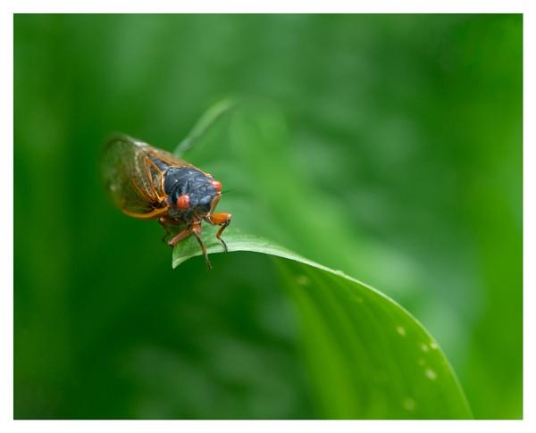 Cicada on Hosta by taggart