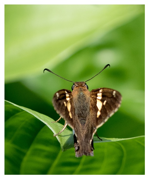 Silver-spotted Skipper by taggart