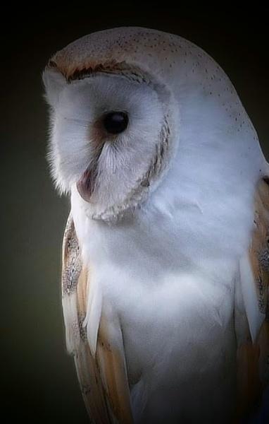 barn owl by colin2019