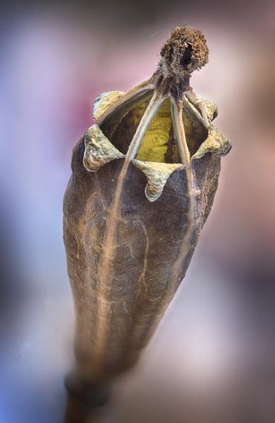 Poppy Seedhead by iangilmour