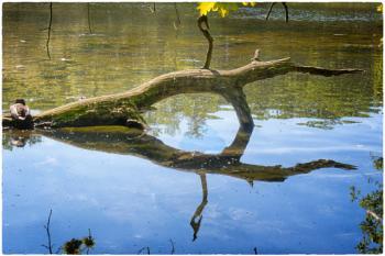 Duck on a dead branch