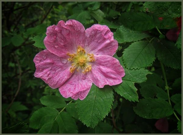 wild_rose (see v.1) by leo_nid