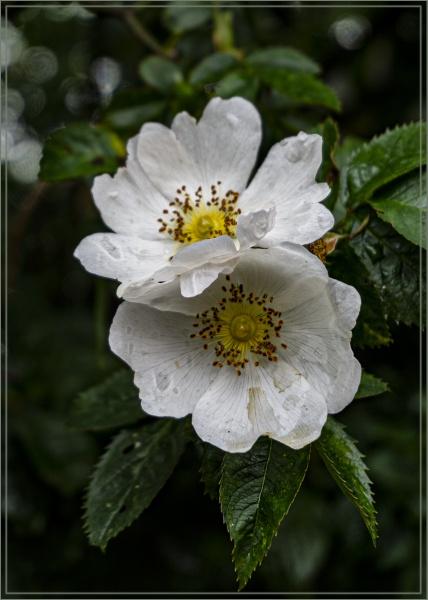 Rambling Rose by ivalyn