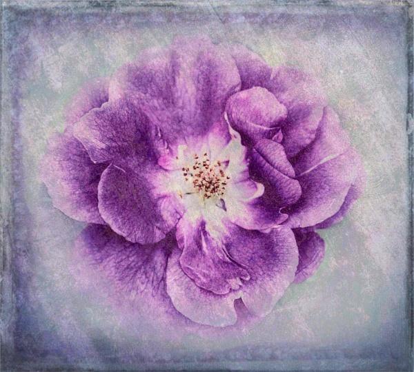 Purple by adagio