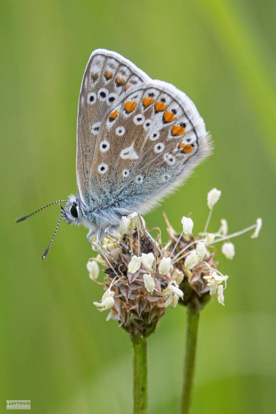 Common Blue Butterfly by LighthousePhotography
