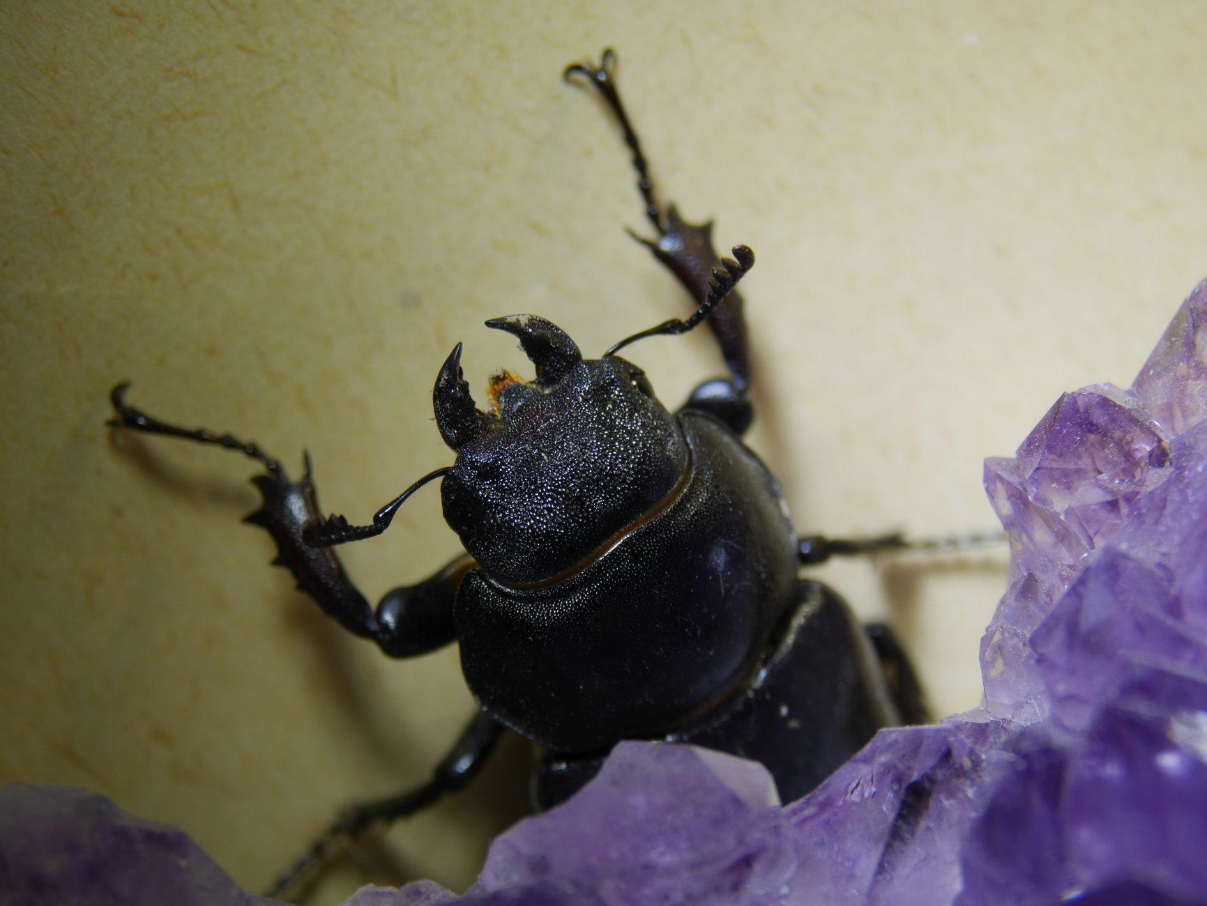litl stag beetle