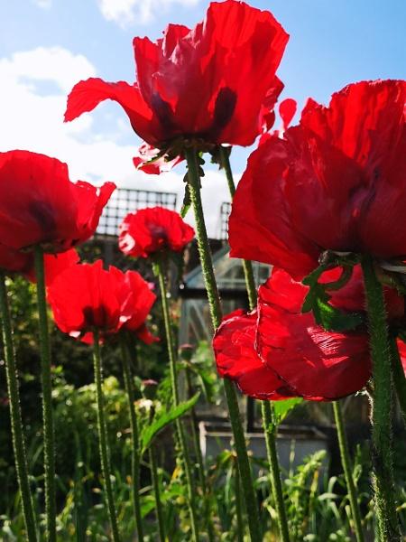 Poppies by RedTen