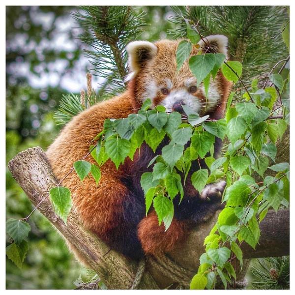 Red Panda by martin174