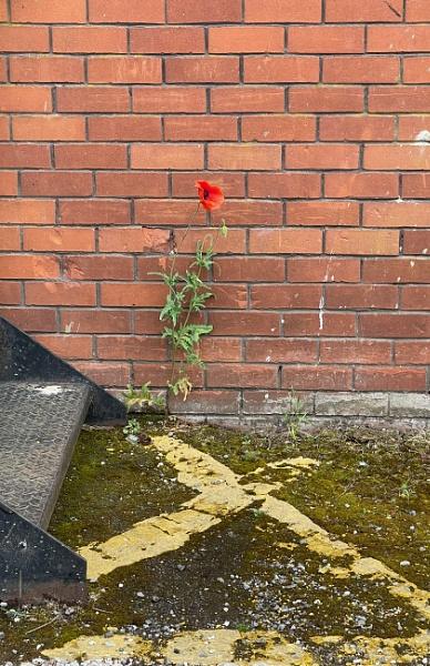 Lone Poppy by pcollingwood