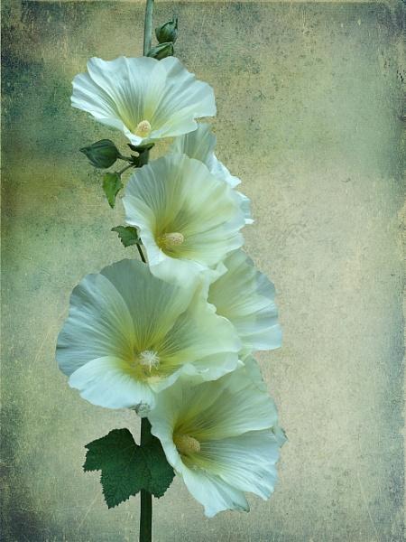 White Hollyhock by pamelajean