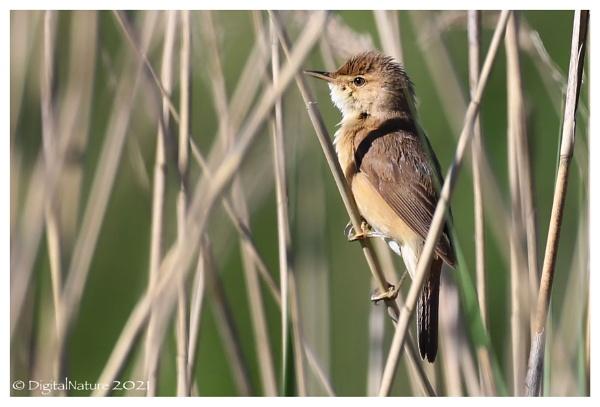 Reed Warbler by Norfolkboy