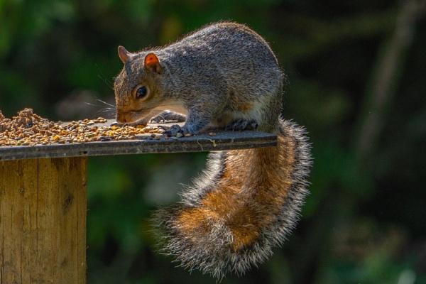 Squirrel raiding the bird table. by terra