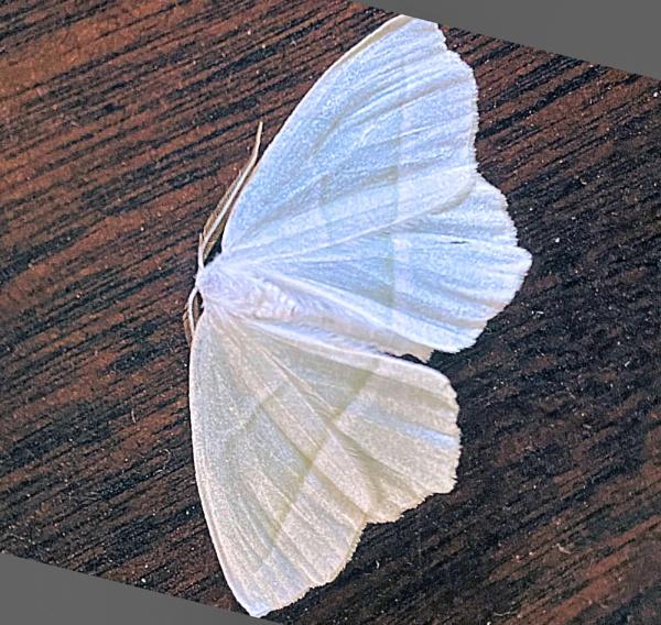 White Satin Moth by Joline